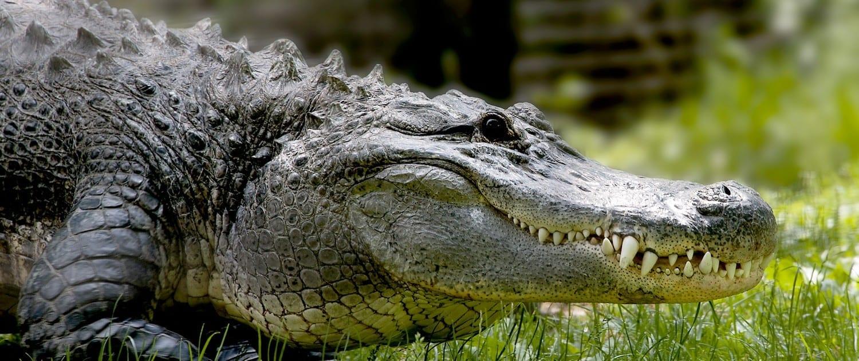 alligator disney4