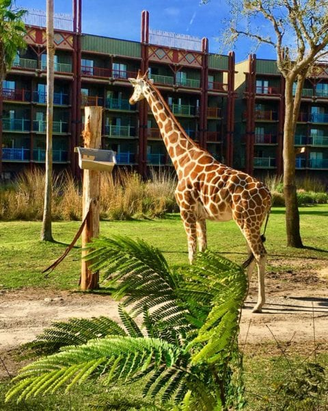 Stay in a Disney resort animal kingdom lodge giraffe