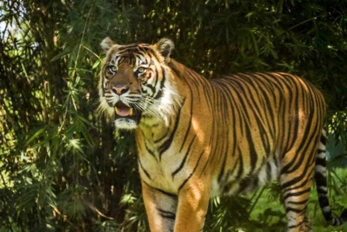New Tiger Cubs Coming to Disney's Animal Kingdom