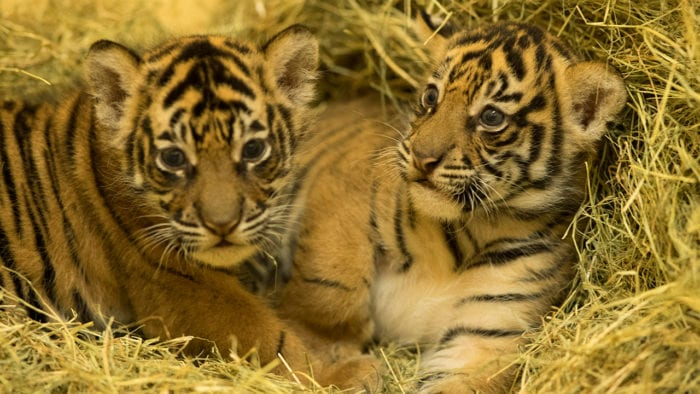 Tiger Cubs Doing Well in Disney's Animal Kingdom