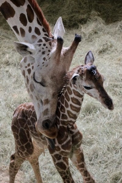 Two Baby Giraffes Born in Disney's Animal Kingdom