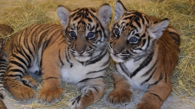 Sumatran Tiger Cubs names Disney's Animal Kingdom