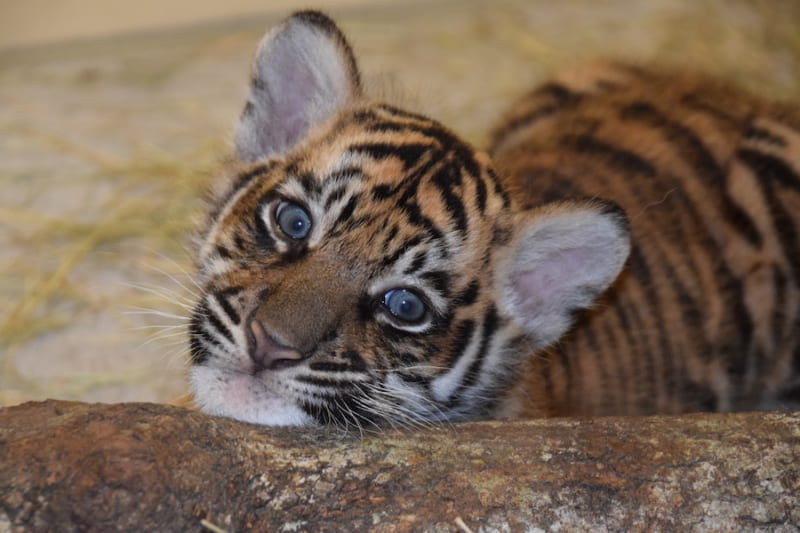 Sumatran tiger Cubs in Disney's Animal Kingdom Now Have Names