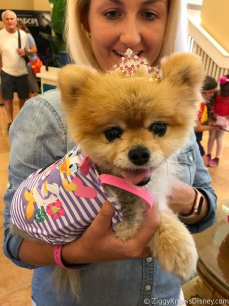 Hurricane Irma in Walt Disney World beach club Dog Show Pomeranian