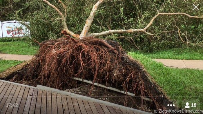 Hurricane Irma in Walt Disney World trees down 8