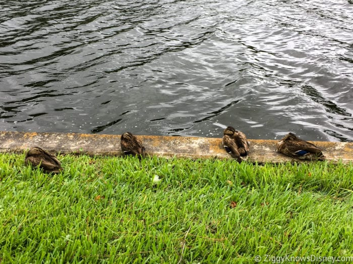 Hurricane Irma in Walt Disney World disney ducks after hurricane irma 2