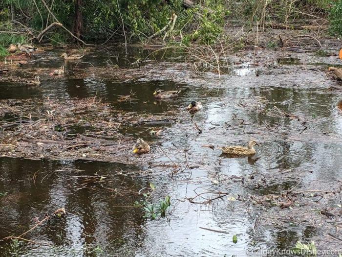 Hurricane Irma in Walt Disney World disney ducks after hurricane irma