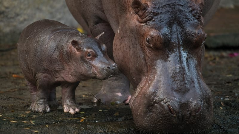 VIDEO: New Baby Hippo in Action at Disney's Animal Kingdom