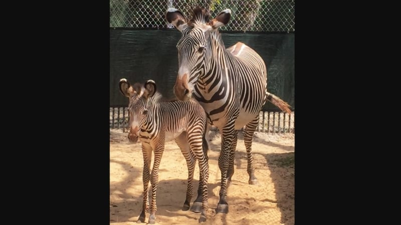 Two Baby Zebras Born in Disney's Animal Kingdom
