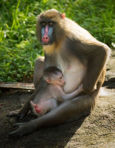baby mandrill born Disney's animal kingdom